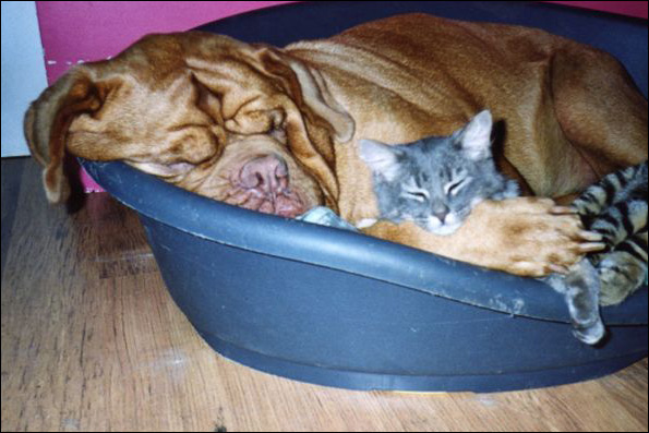 http://doguedebordeaux.pagesperso-orange.fr/copains/chats/gandalf1.jpg